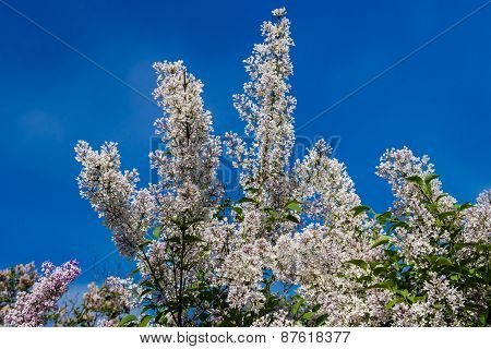 Lilac Bush With Pale Pink Flowers