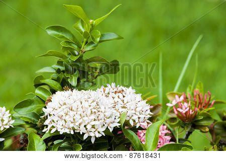 Beautiful Bouquet Of White Ixoras Flower,