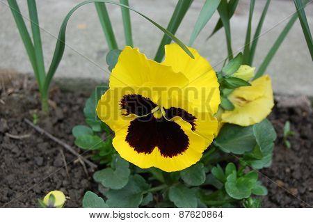 Yellow Pansie