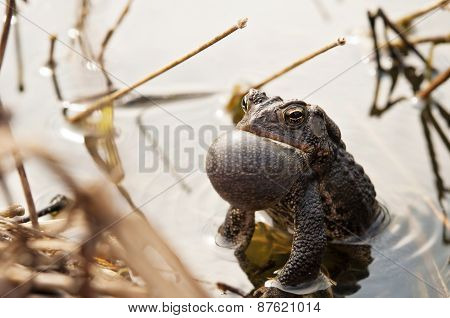 Croaking Bullfrog