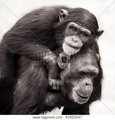 Chimpanzee Piggyback
