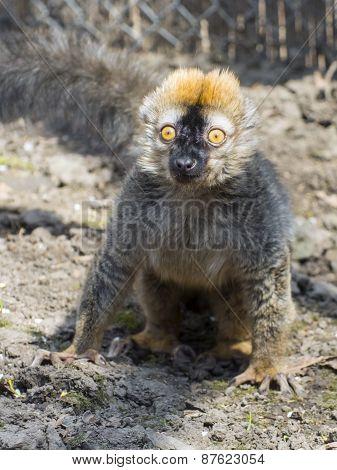 Red Lemur (eulemur Rufus)