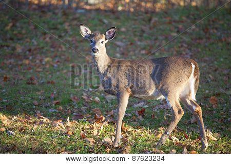 Solitary Deer