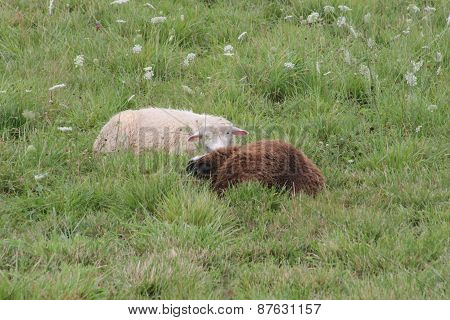 Sheep laying in Grass