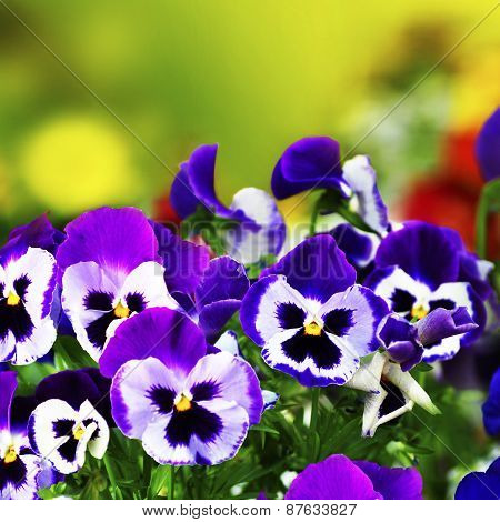 Violet pansies in garden with blurred background