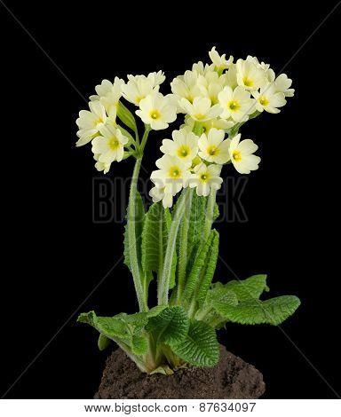 Oxlip, Primula Elatior on Black Background