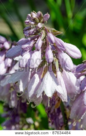 Hosta Bressingham Blue