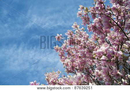 Pink Magnolia Trees Over Blue Sky