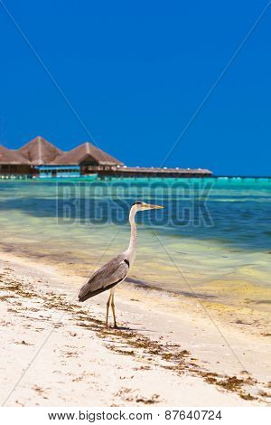 Heron on Maldives beach - nature background