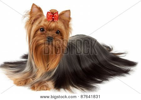 One Yorkshire Terrier Isolated On White