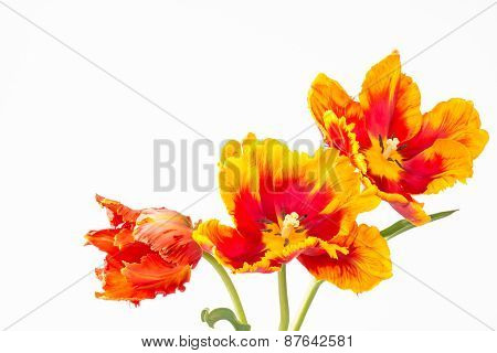 Three Two-toned Parrot Tulips