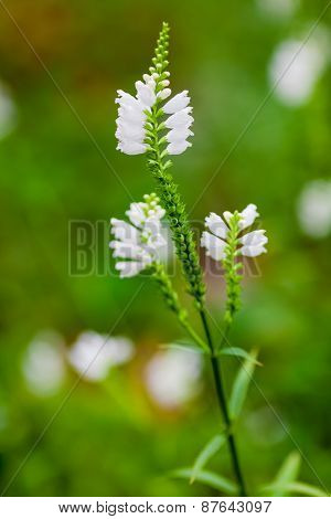 Obedient Plant Or False Dragonhead