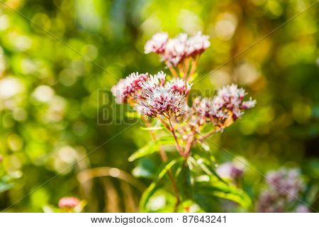 Closeup Of Pink Flowers Of Spiraea Japonica