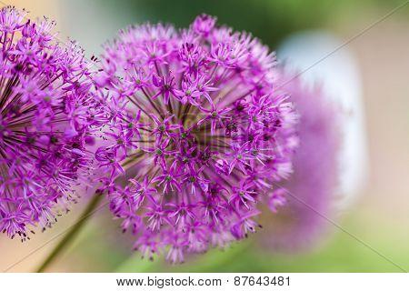 Macro Photo Of Alium Flowers