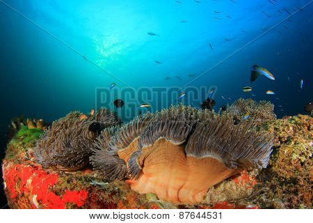 Anemones and coral