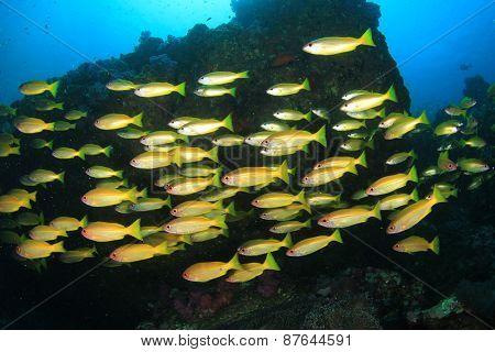 School Bigeye Snapper fish