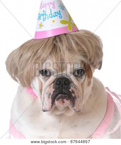birthday dog - female bulldog wearing birthday hat on white background