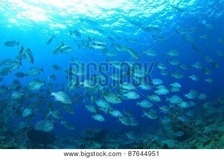 Fish underwater in blue ocean