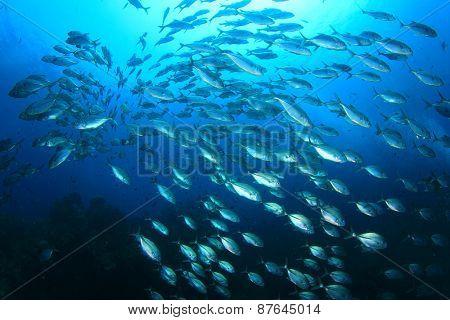School Bigeye Trevally (Jack) fish
