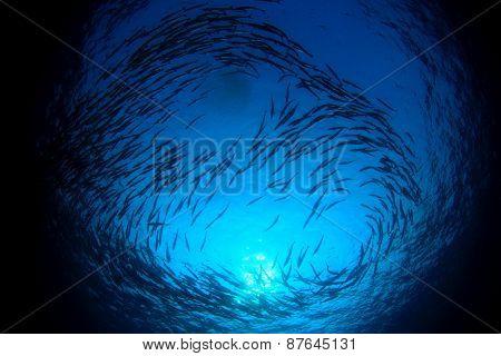 Barracuda fish school silhouette