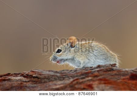 A striped mouse (Rhabdomys pumilio) in natural environment, South Africa