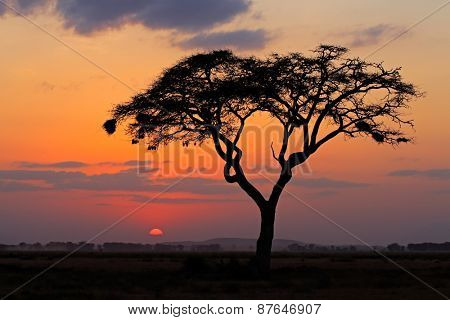 Sunset with silhouetted African Acacia tree, Amboseli National Park, Kenya