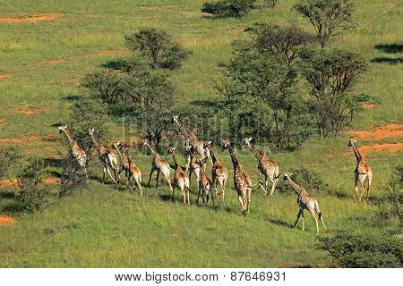 Aerial view of a herd of giraffes (Giraffa camelopardalis) in natural habitat, South Africa