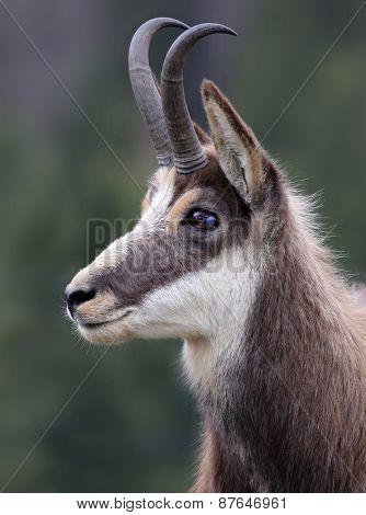 majestic portrait of a chamois.