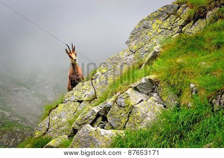 Chamois in natural habitat.