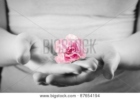 Pink soft flower in woman hands. Spa, protection, health care concept. Black and white and color.