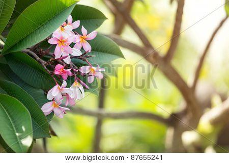 bush of pink frangipani tropical flower