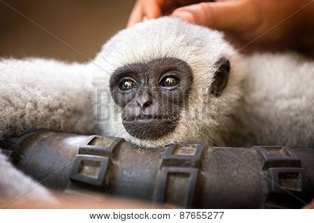 beautiful young monkey enjoys pampering