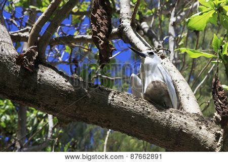 White tern sits on his chick in tree branch.