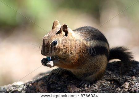 Chipmunk eating an M&M candy