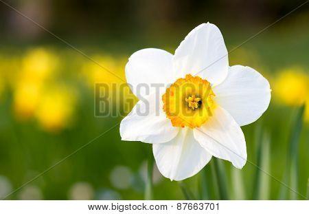 Macro Of A Poet's Daffodil In Spring