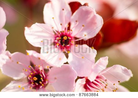 Macro Of An Almond Blossom