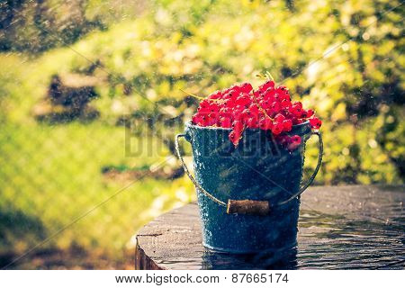 Red Currant Fruit Bucket Summer Rain Drops Water Wooden