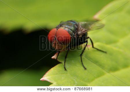 Macro fly portrait