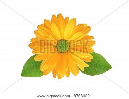 Orange Chrysanthemum Flower Isolated On White