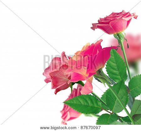 Beautiful Pink Rose Border Over White