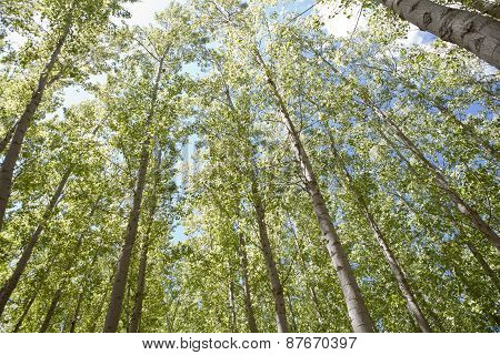 Young Poplar Forest