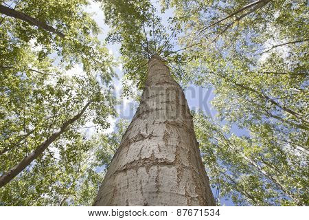 Young Poplar Trunk From Low Angle