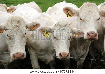 France, Cows In A Meadow In Les Yvelines