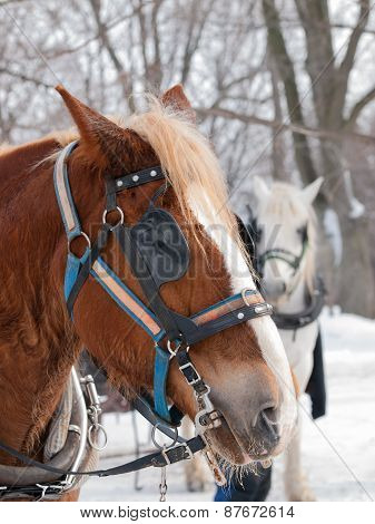 Brown Horse Ready For Sleigh Ride