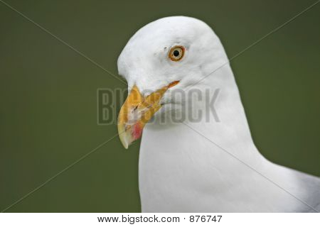 Herring Gull Closeup
