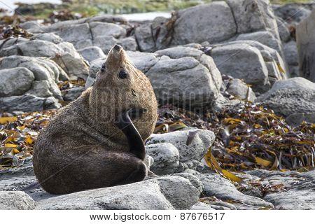 New Zealand Fur Seal (arctocephalus Forsteri) Scratching It's Neck
