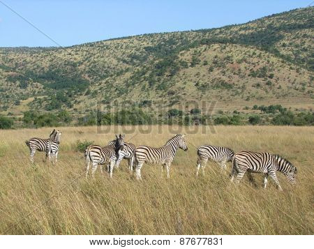 Zebras In Southafrica