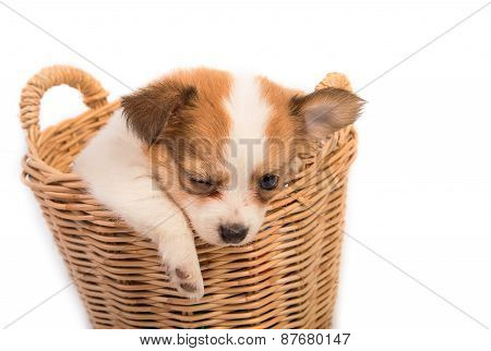 Portrait Of Chihuahua Puppy In Basket