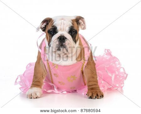 spoiled dog - english bulldog dressed up like a ballerina on white background