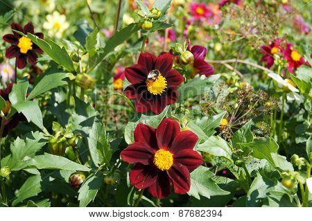 Claret dahlias in a garden